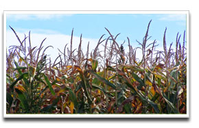image of maize