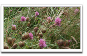 image of Red Clover